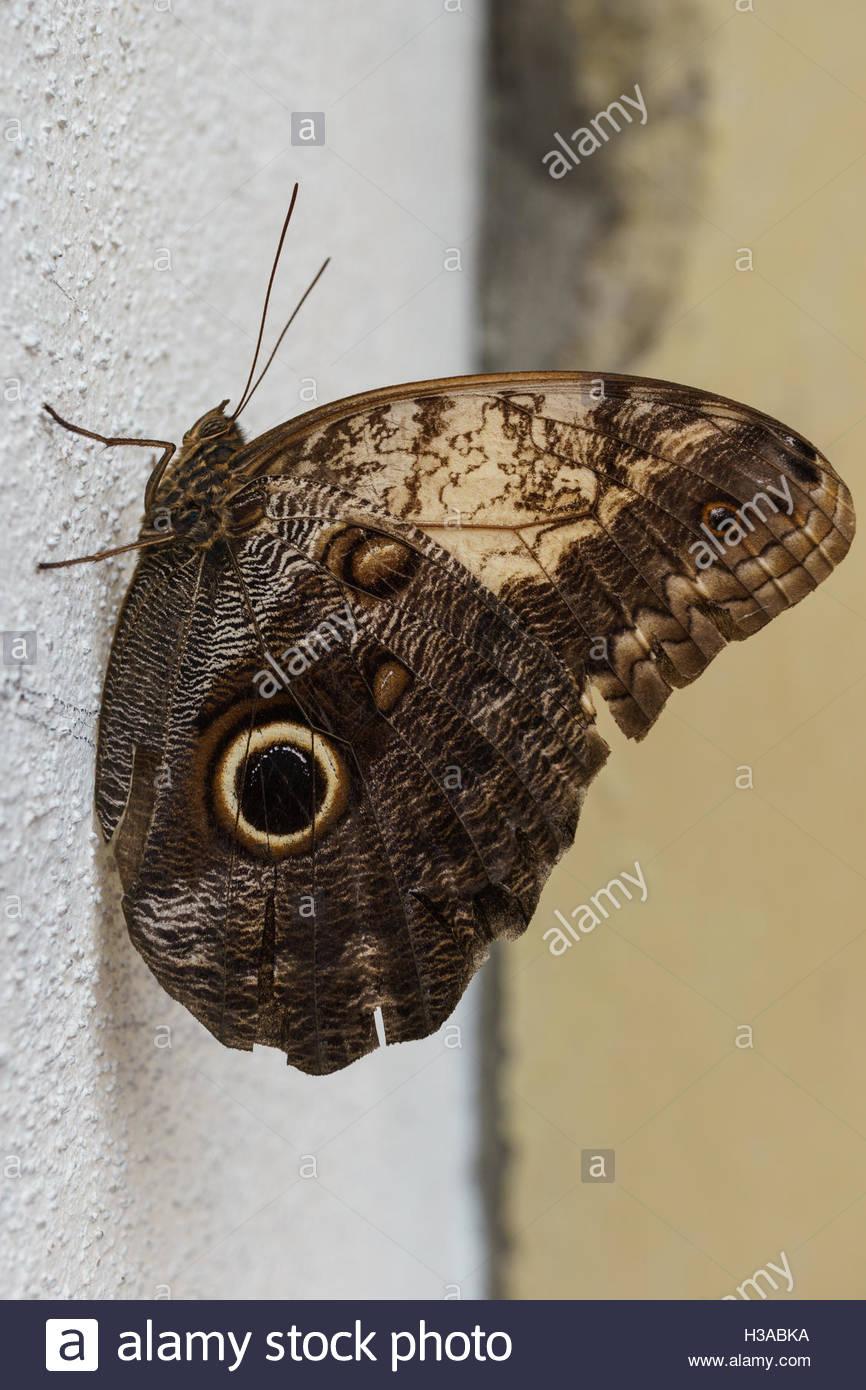 owl-butterfly-H3ABKA.jpg