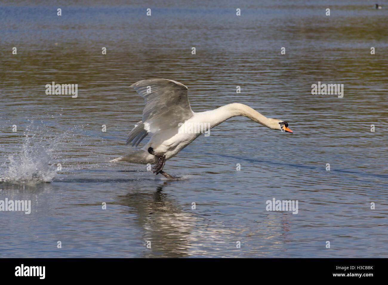 mute-swan-cygnus-olor-landing-on-water-a