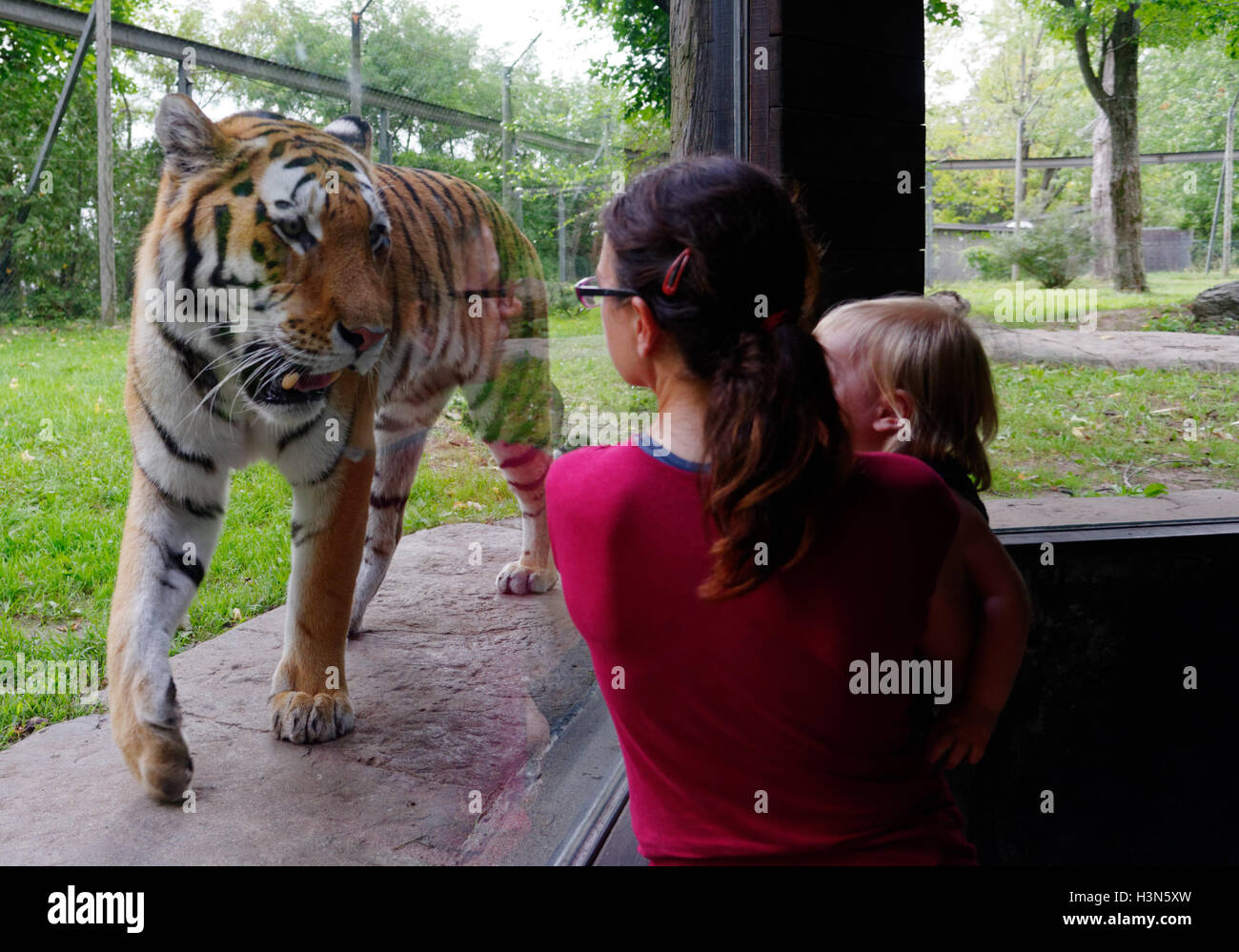 the-siberian-tiger-in-granby-zoo-looking