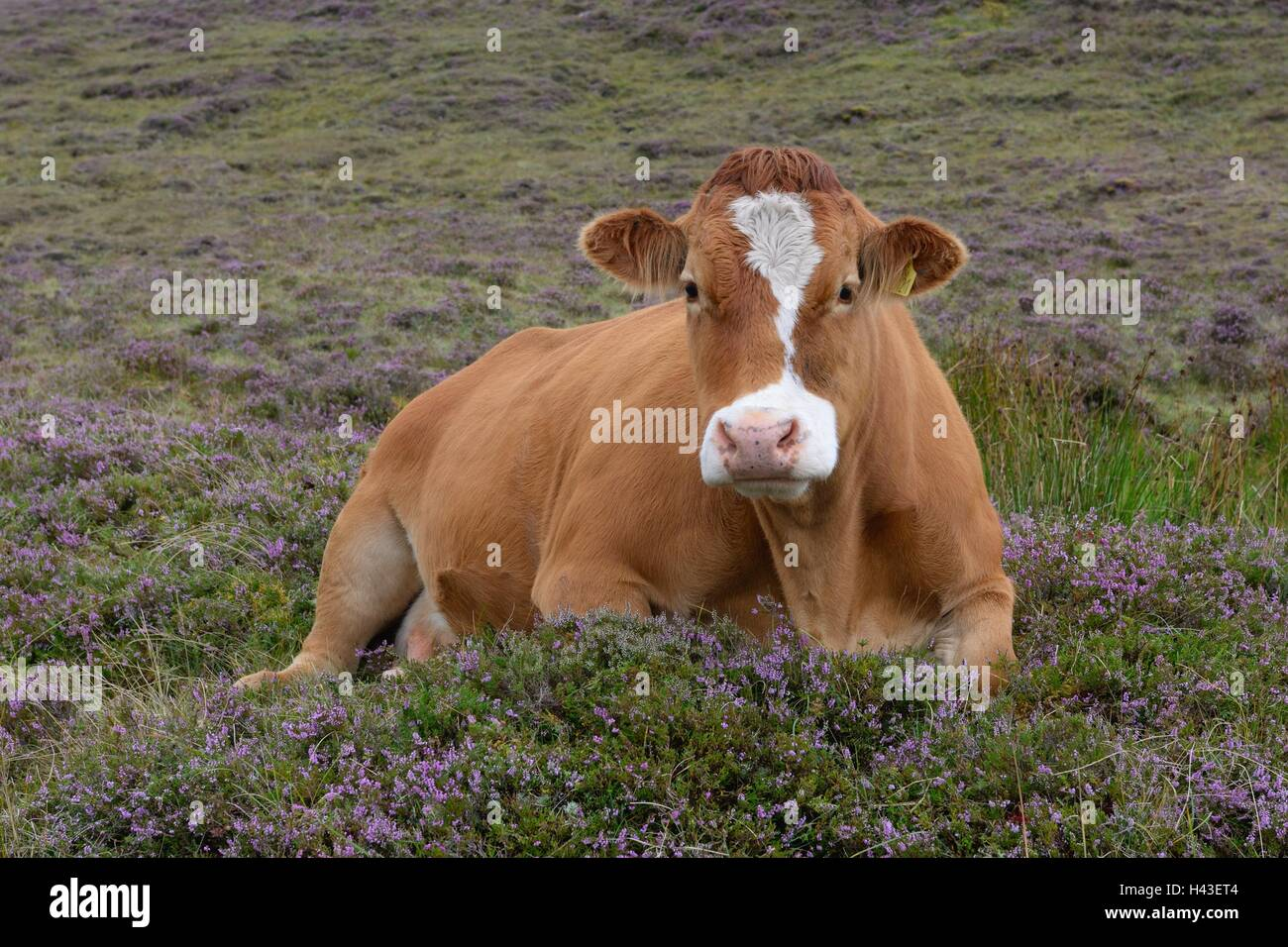 brown-dairy-cow-sitting-on-a-comfortable