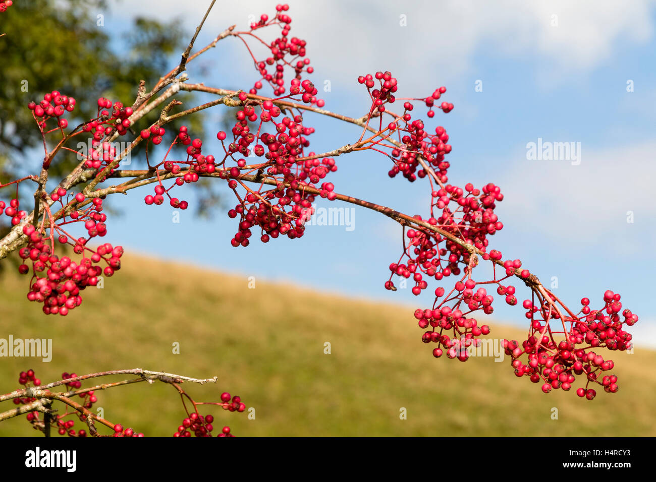 pink-berry-laden-autumn-branch-of-the-chinese-rowan-sorbus-pseudohupehensis-H4RCY3.jpg