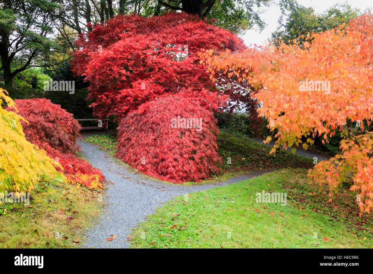 reds-yellow-and-orange-autumn-leaf-colour-from-acer-palmatum-varietes-H6C9R6.jpg