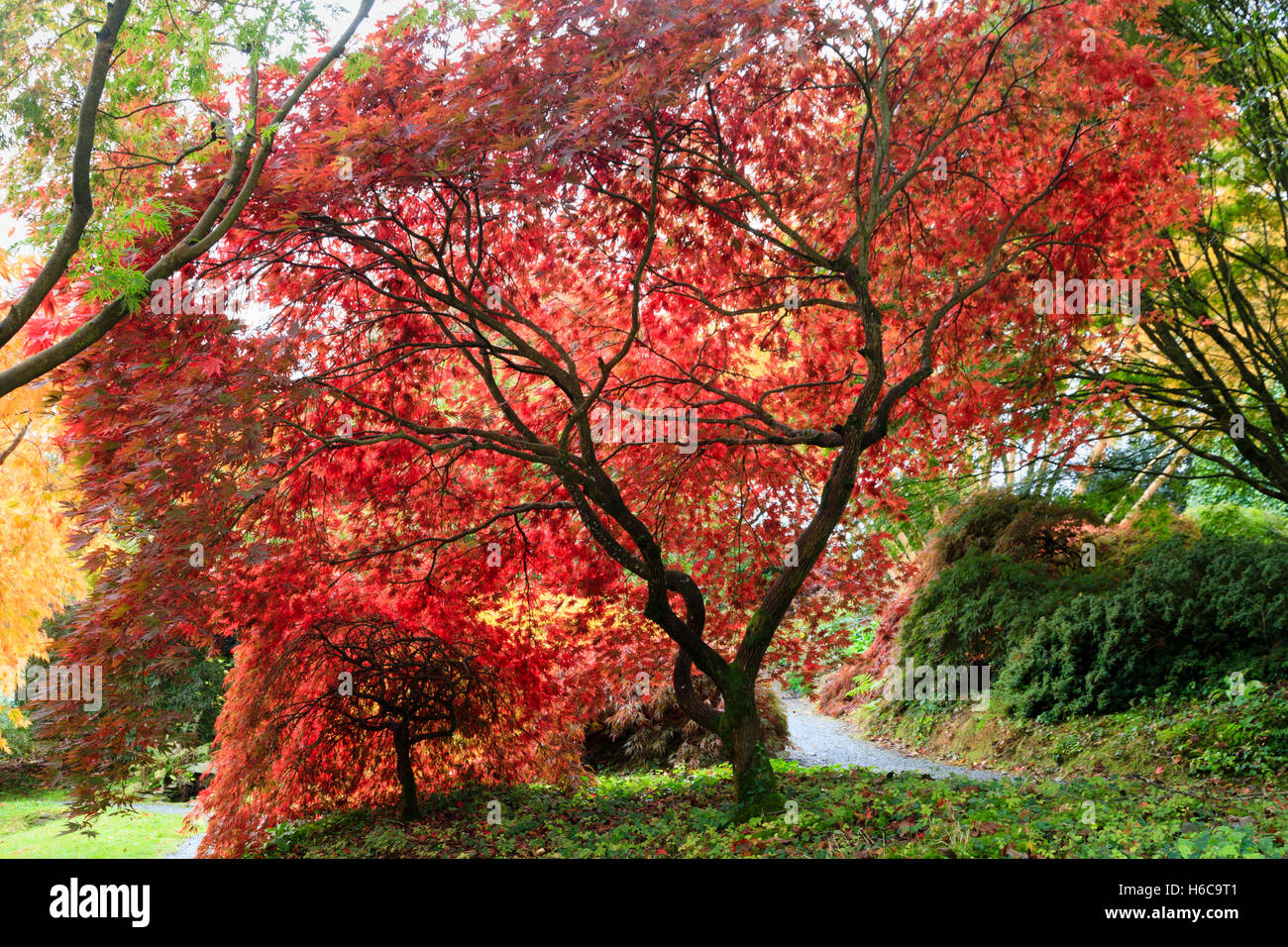 backlit-red-autumn-foliage-of-two-japanese-maples-acer-palmatum-varieties-H6C9T1.jpg