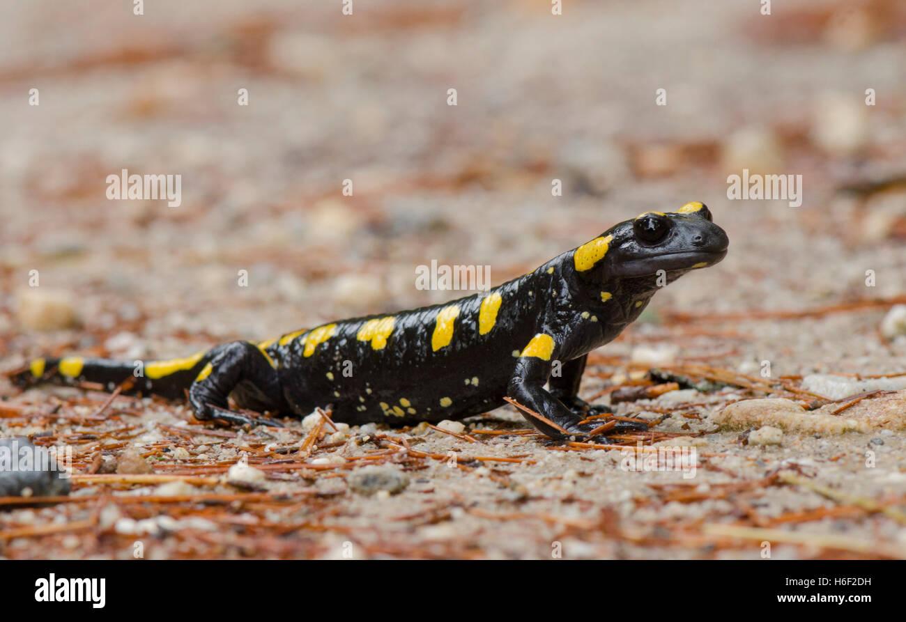 european-fire-salamander-salamandra-sala