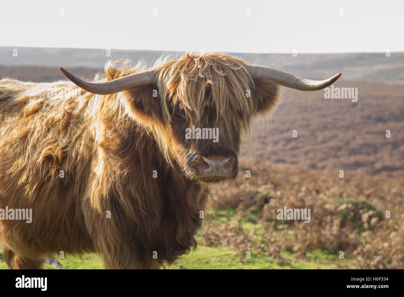 highland-longhorn-cattle-on-dartmoor-dev