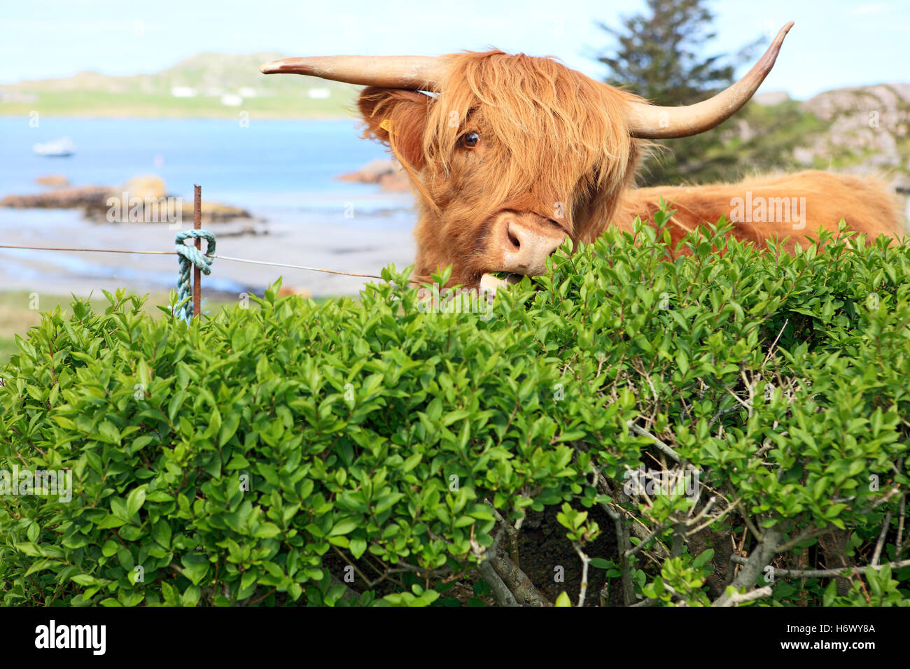 highland-cow-eating-a-hedge-as-there-are