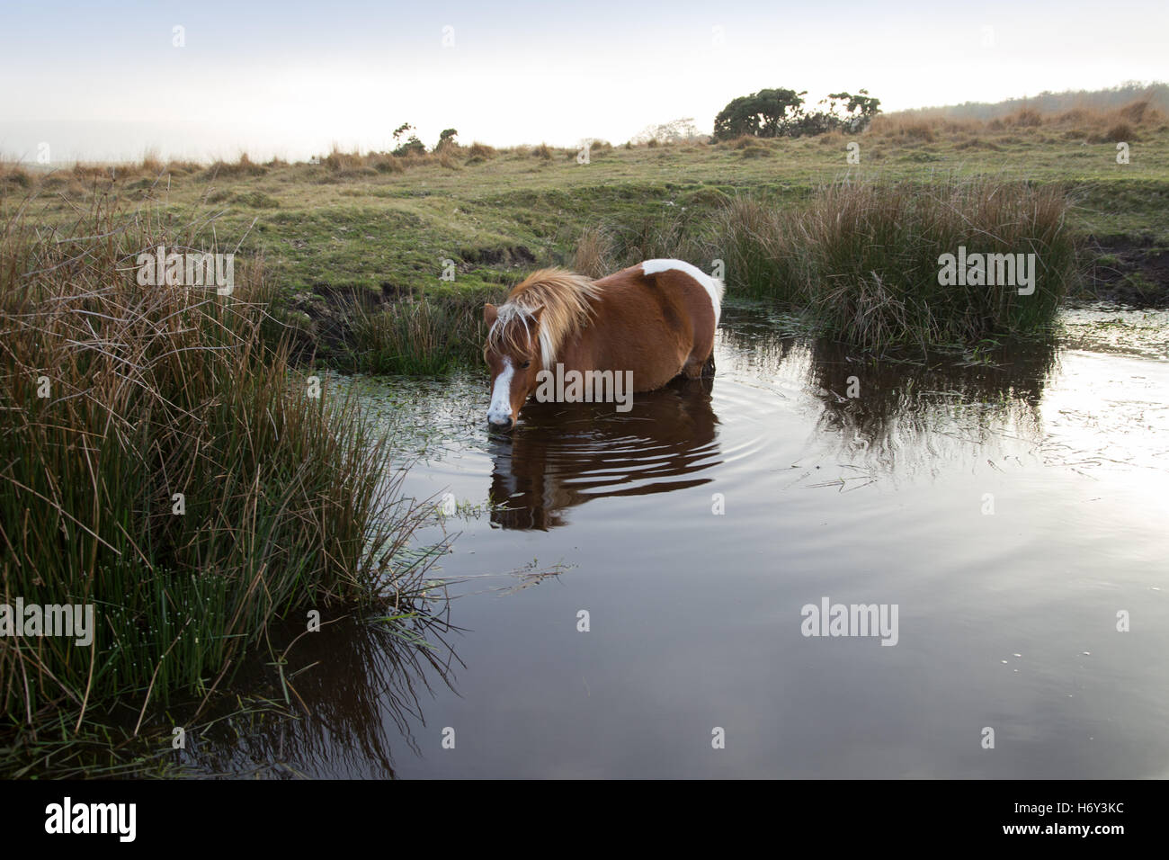 a-dartmoor-pony-eating-leaves-and-drinki