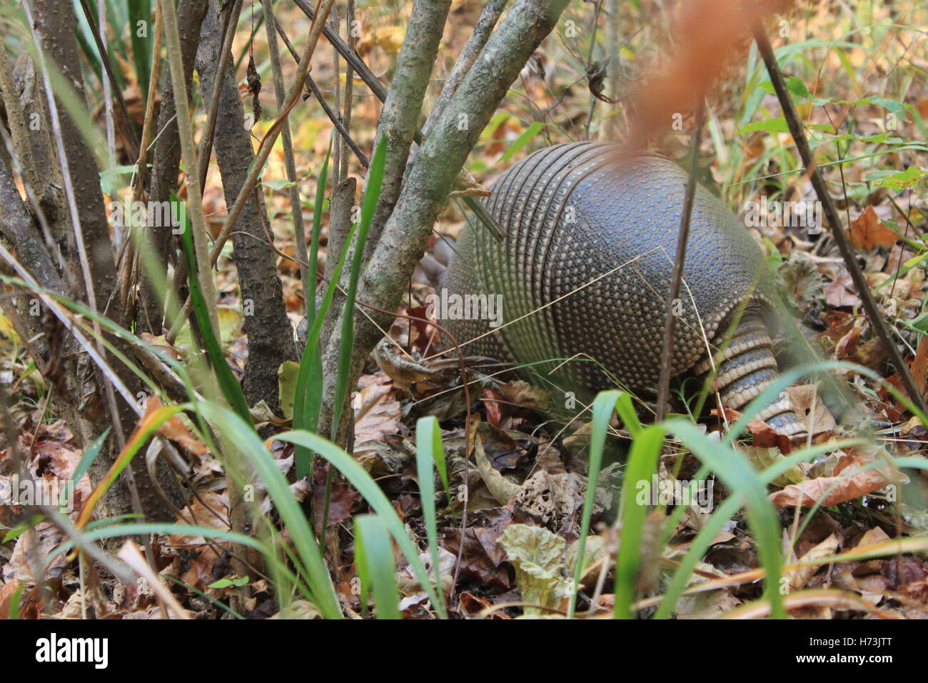 an-armadillo-rooting-around-in-the-woods