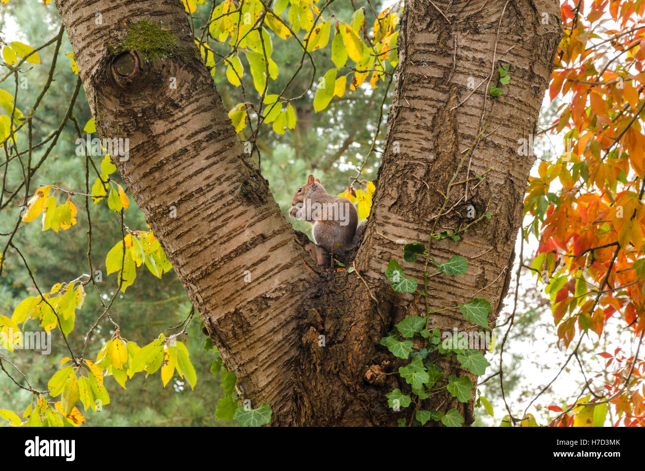 a-grey-squirrel-sits-in-the-fork-of-a-tree-on-an-autumn-day-H7D3MK.jpg