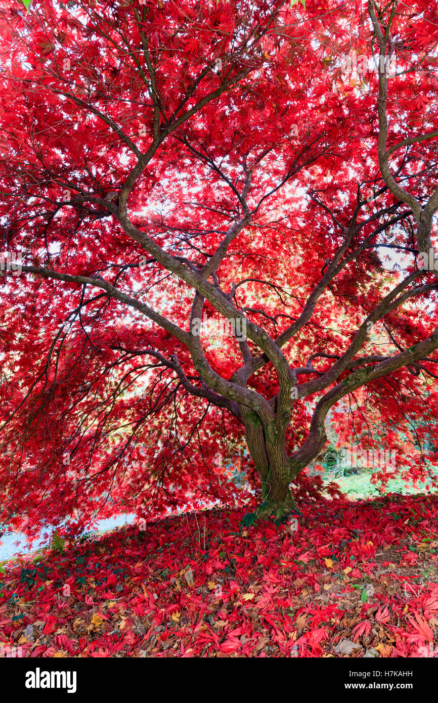 autumn-colour-intensifies-the-red-foliag