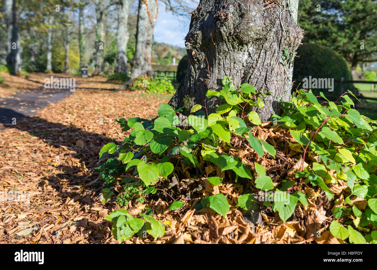base-of-a-large-tree-in-autumn-with-leav