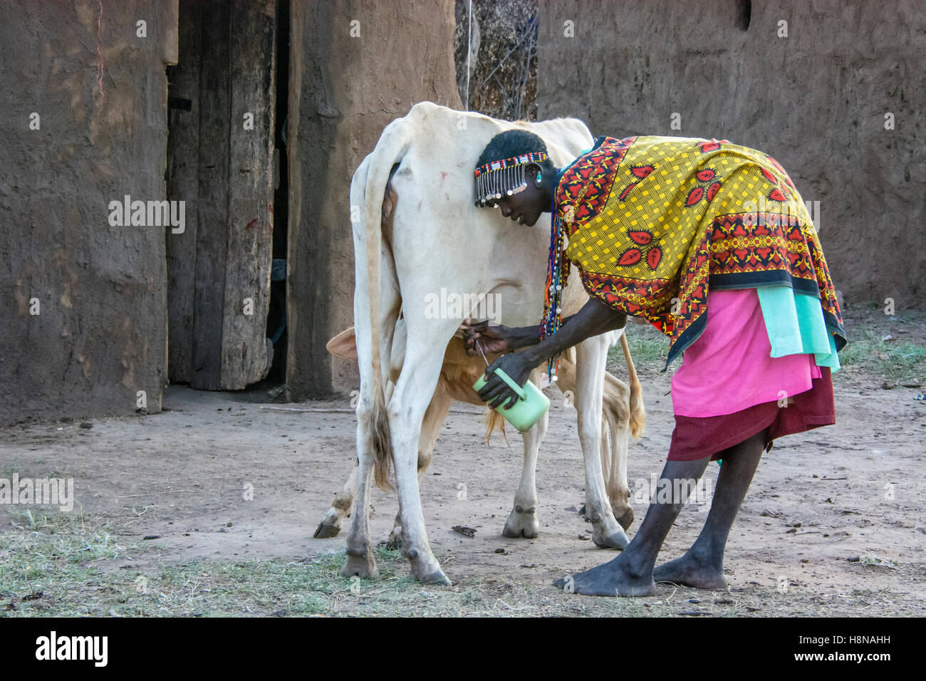 maasai-woman-milking-a-cow-wearing-tradi