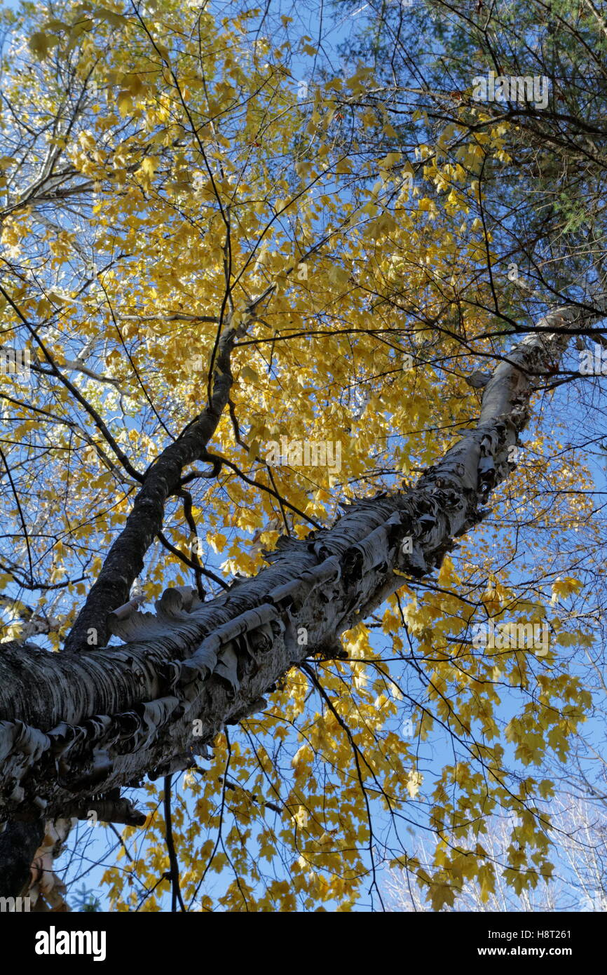 birch-tree-in-the-fall-H8T261.jpg