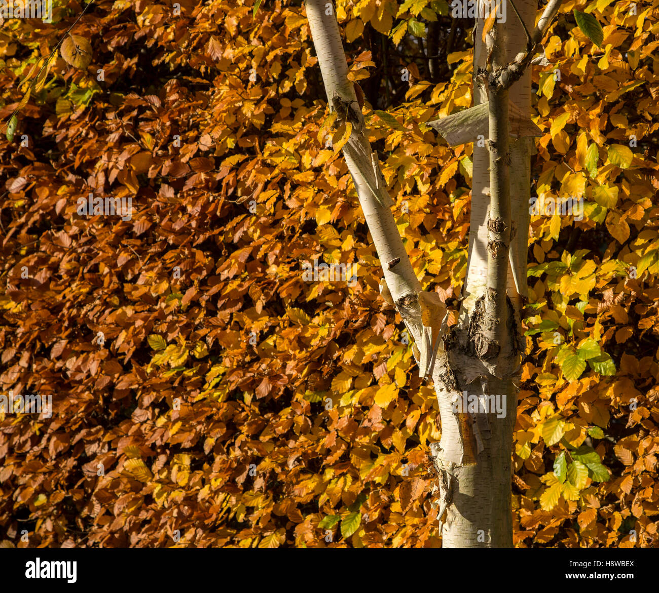 a-common-beech-hedge-in-autumn-fagus-syl