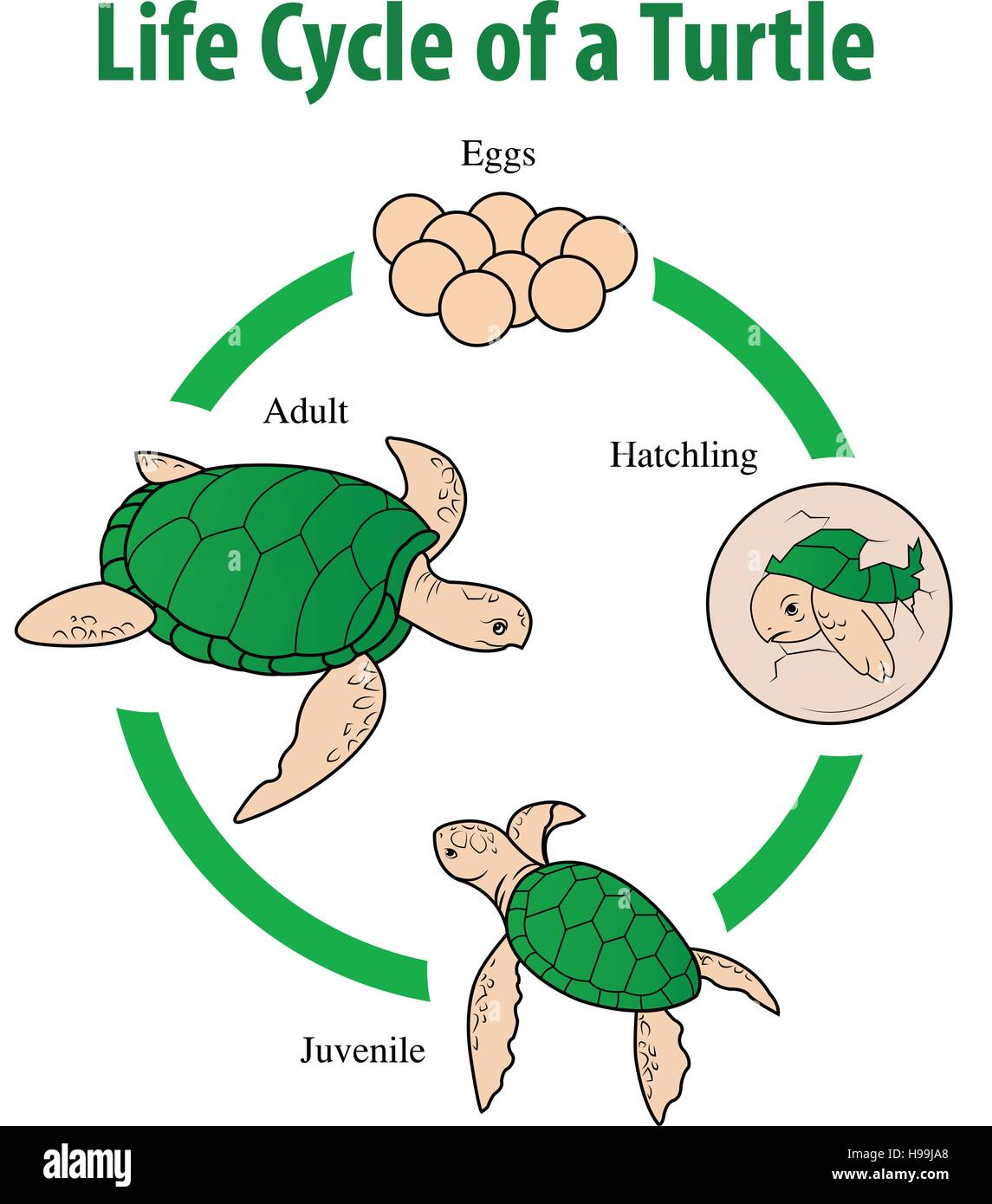 Stock Photo Vector Illustration Of Turtle Life Cycle 126216448 on Life Cycle Of A En Worksheet