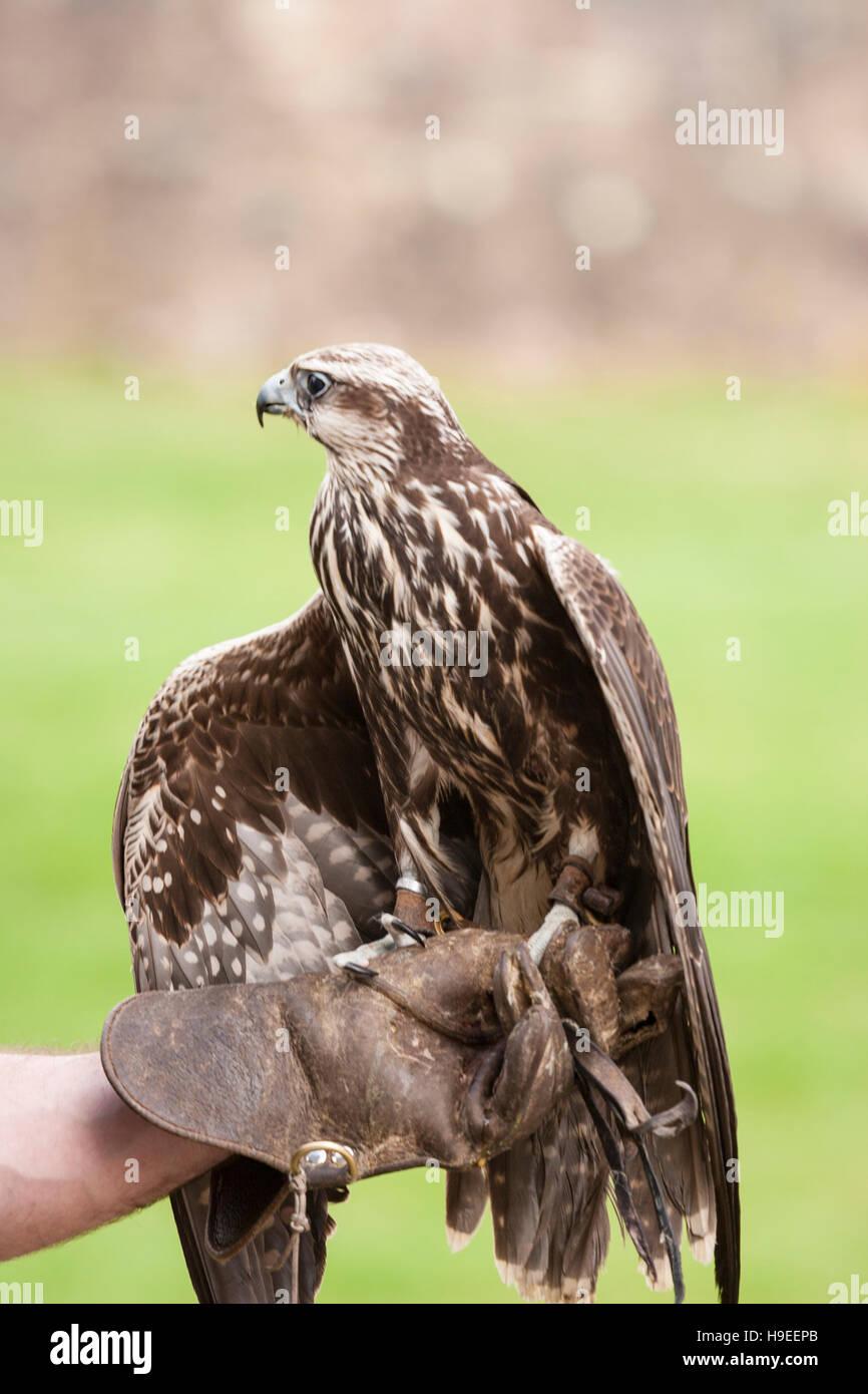unknown-hawk-sitting-on-handlers-gloved-