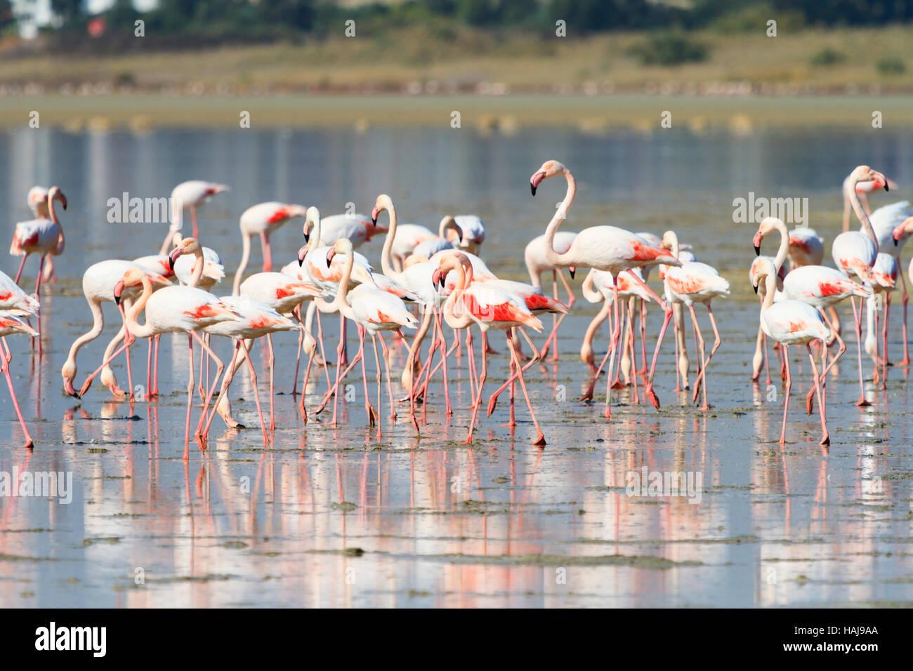annual-flamingo-migration-to-larnaca-sal