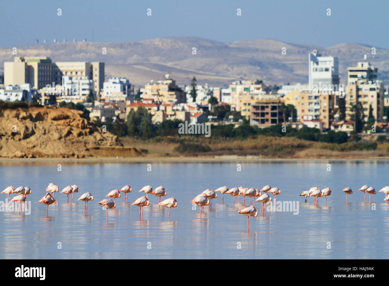 flamingos-on-larnaca-salt-lake-cyprus-HA