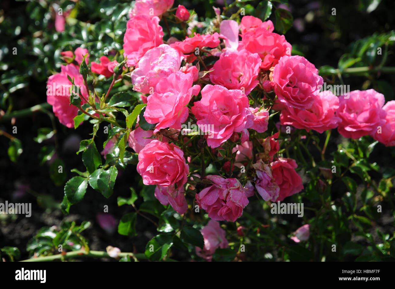 rosa heidetraum shrub rose stock photo royalty free. Black Bedroom Furniture Sets. Home Design Ideas