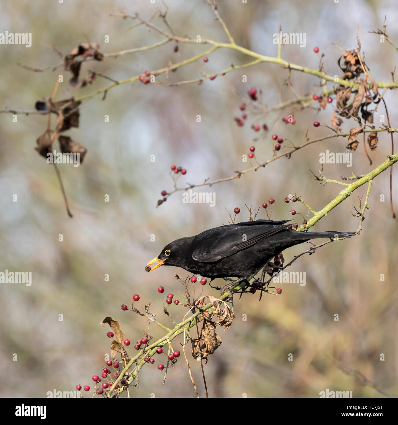 blackbird-on-branch-feeding-on-berries-i