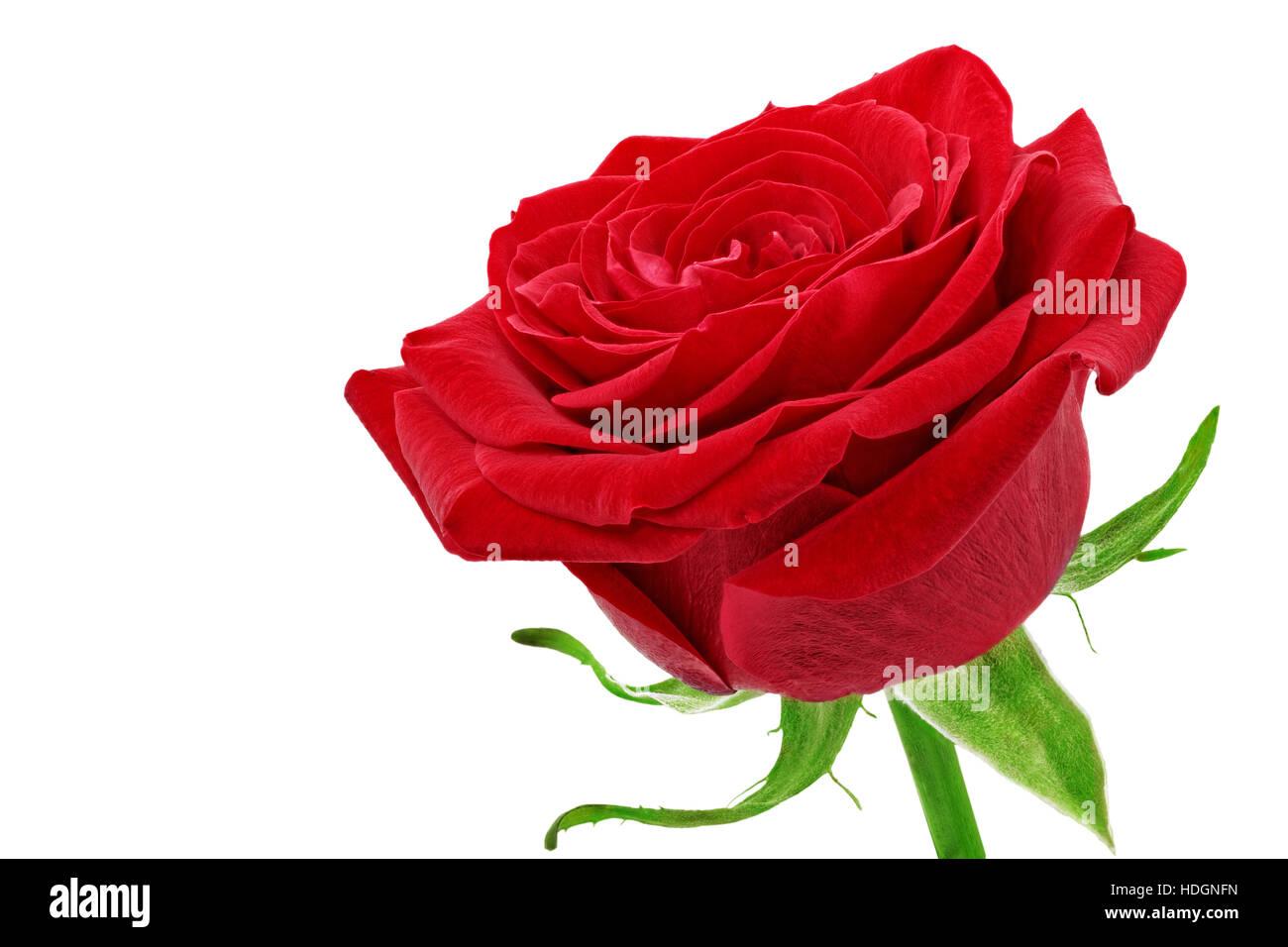 Pics of beautiful single red rose daily health beautiful single red rose flower isolated stock photo 128831241 izmirmasajfo