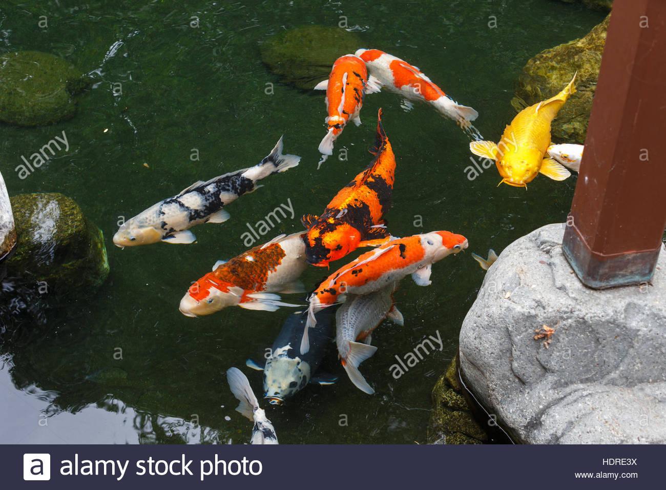 Colorful koi fish at japanese friendship garden san diego for Japanese friendship garden san jose koi fish