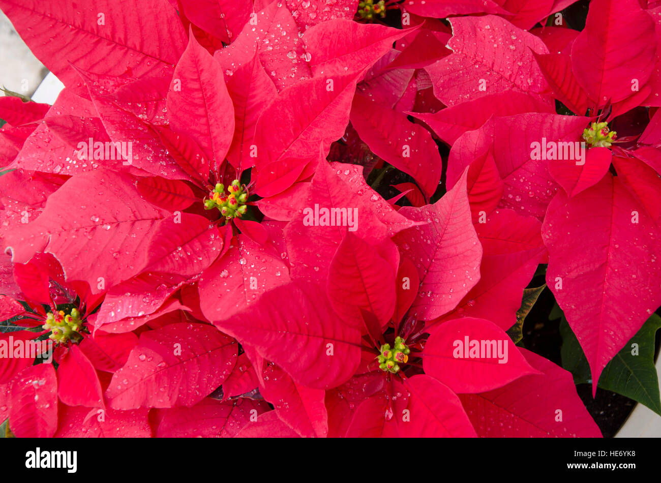 close-up-of-red-poinsettia-flowers-in-ch