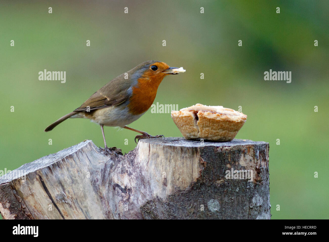 hailsham-uk-20th-december-2016-a-robin-e