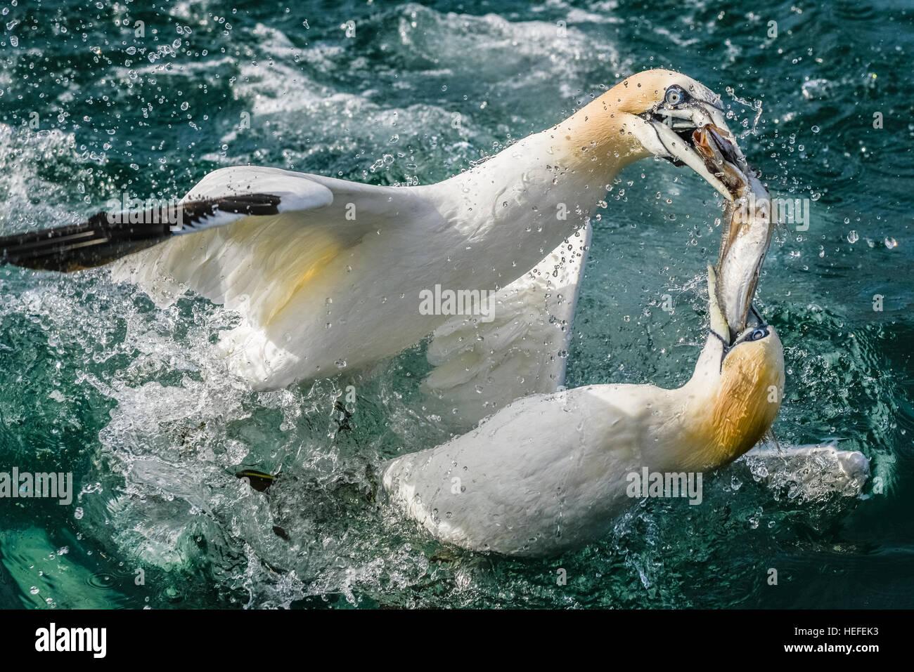 two-northern-gannets-morus-bassanus-figh
