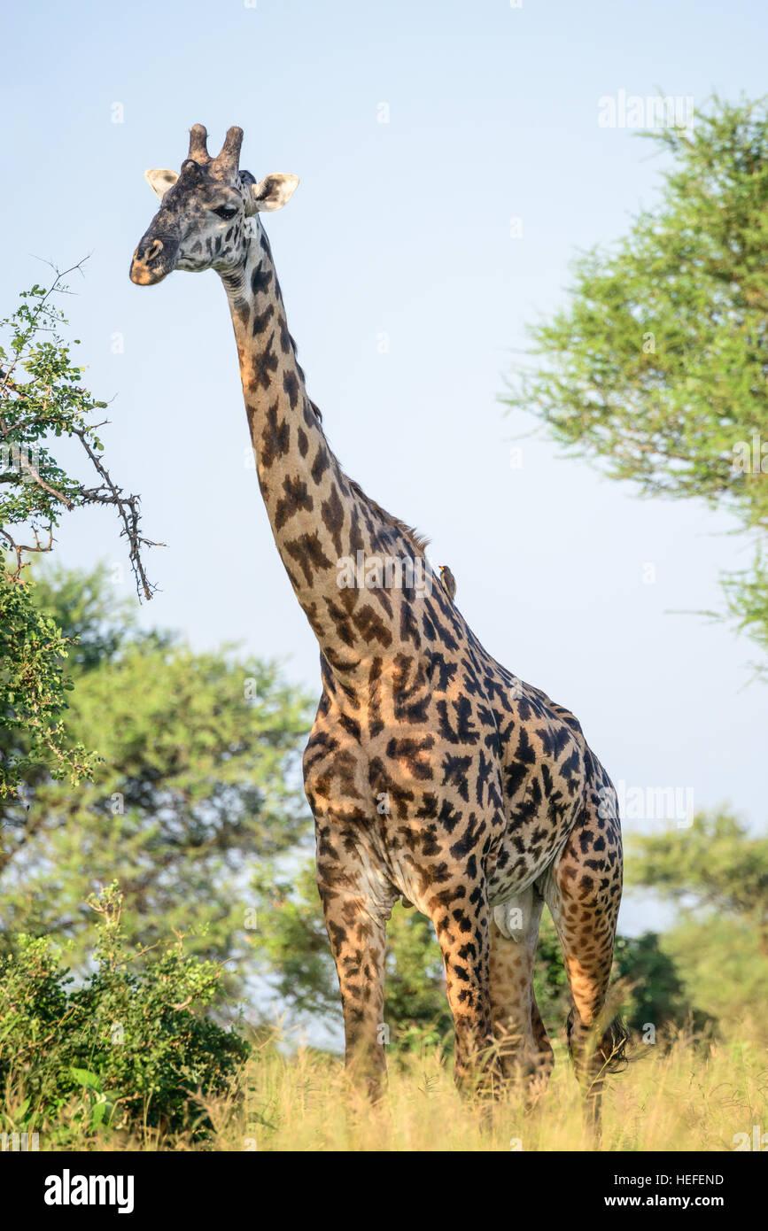 an-adult-male-masai-giraffe-giraffa-tipp