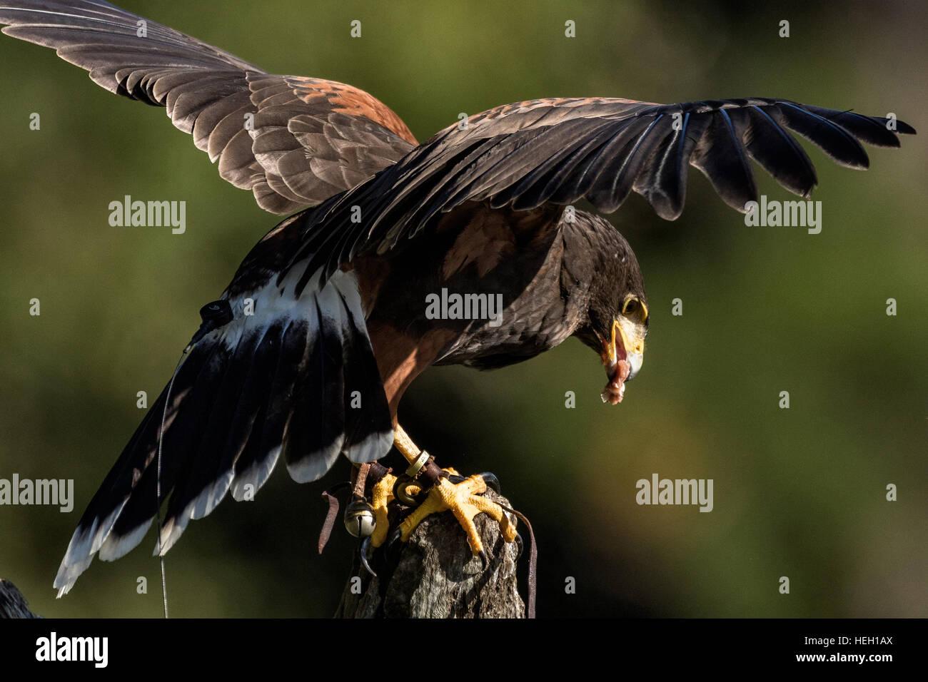 Red tailed hawk landing