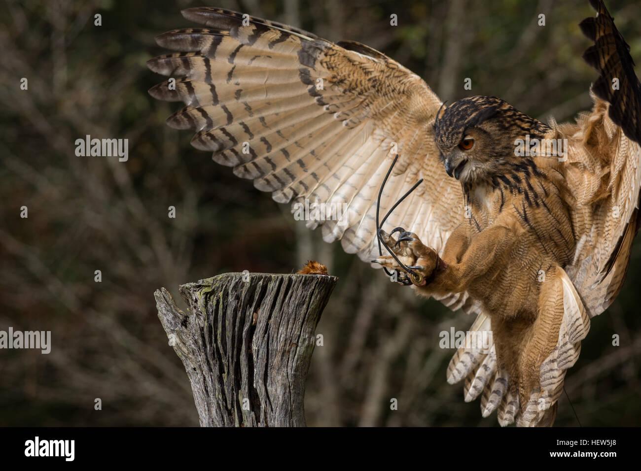 Aninimal Book: Eurasian Eagle Owl attacking prey at the Center for Birds ...