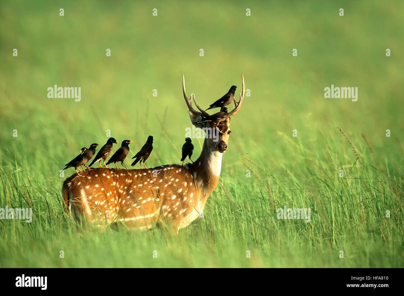 spotted-deer-axis-axisgrasslandherbivorecommon-mynacorbett-tiger-reservecorbett-HFA810.jpg