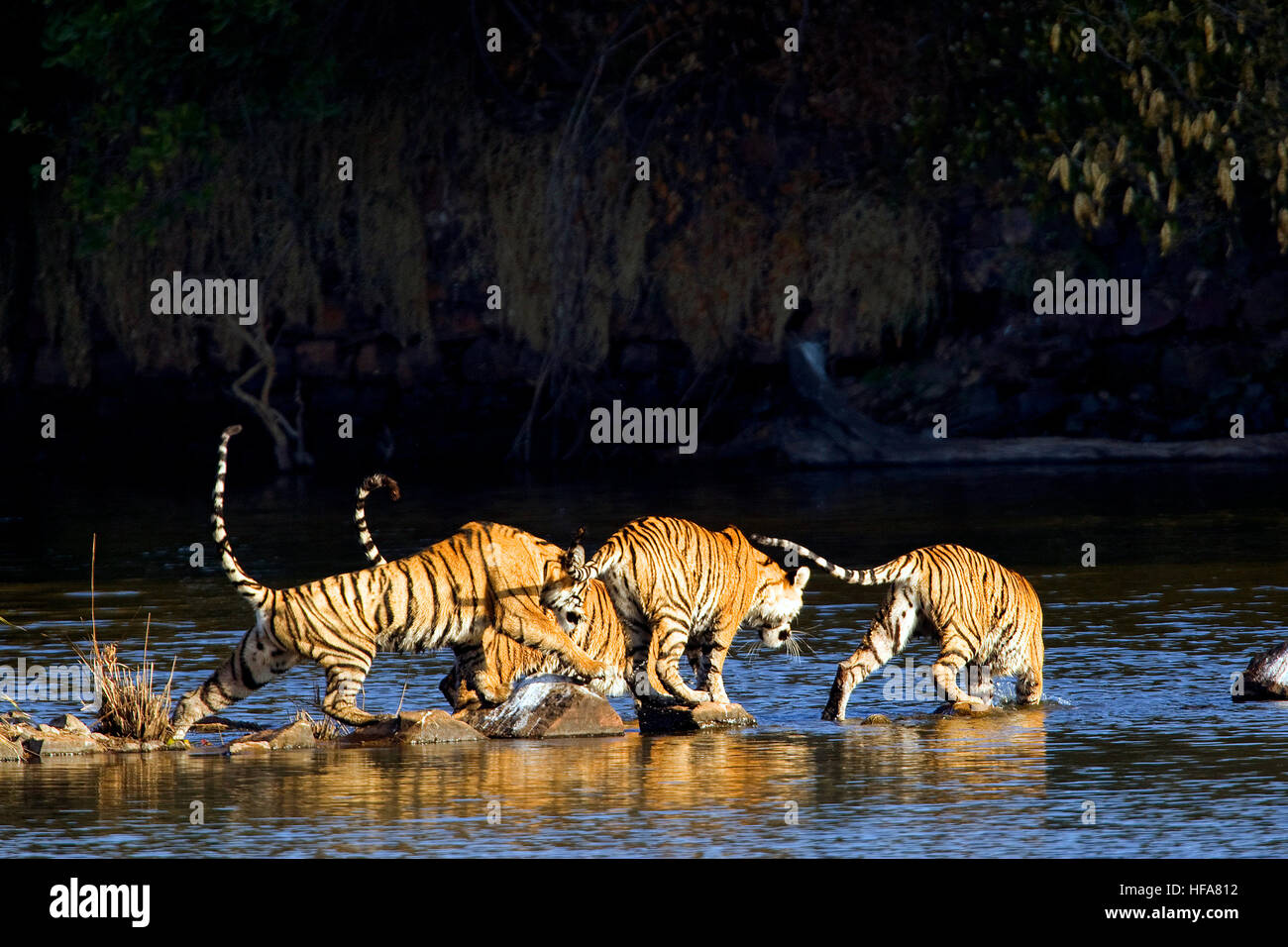 bengal-tigerindian-wildlifepanthera-tigristrailcrossing-streamranthambore-HFA812.jpg