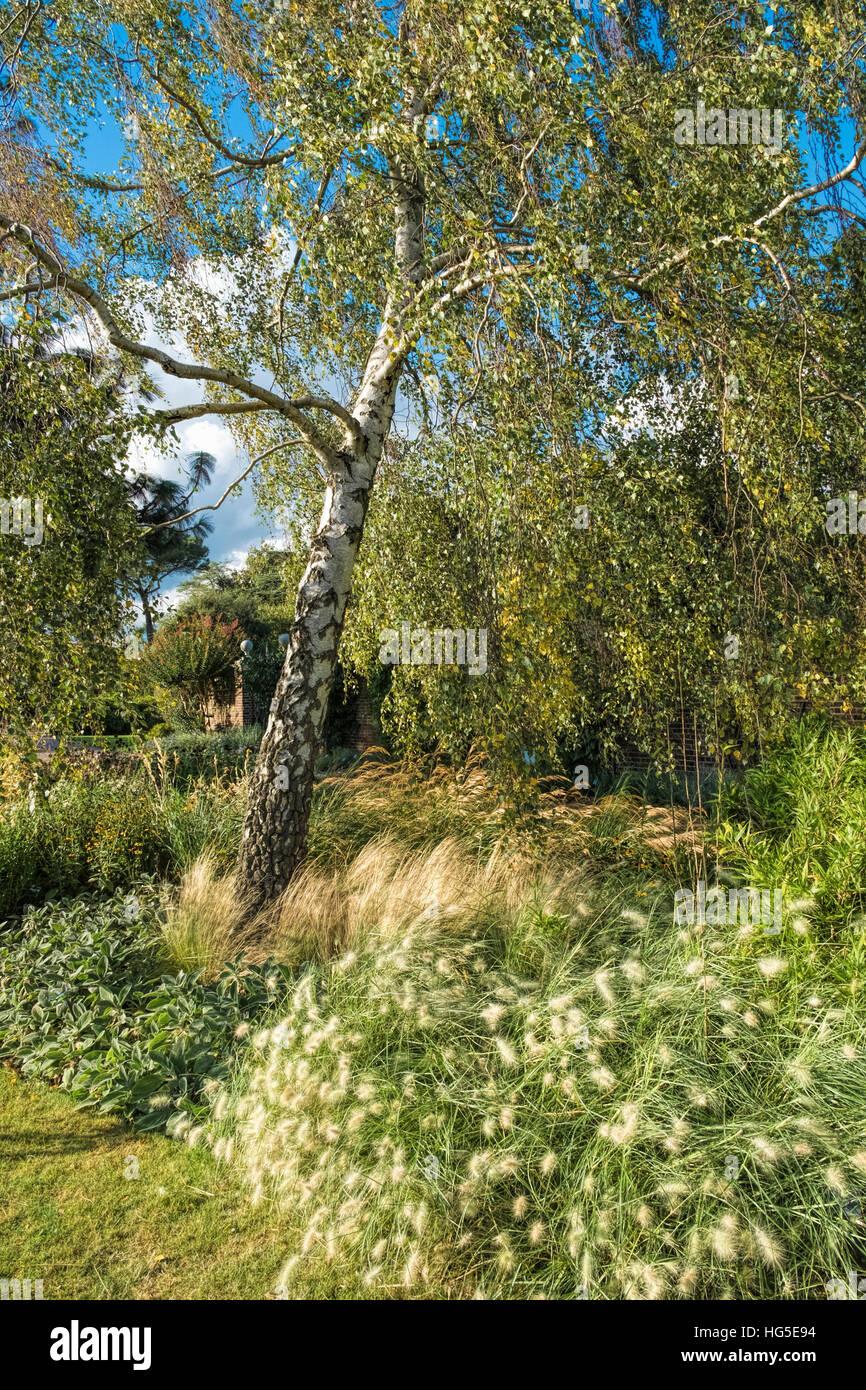 silver-birch-betula-pendula-tree-and-gra