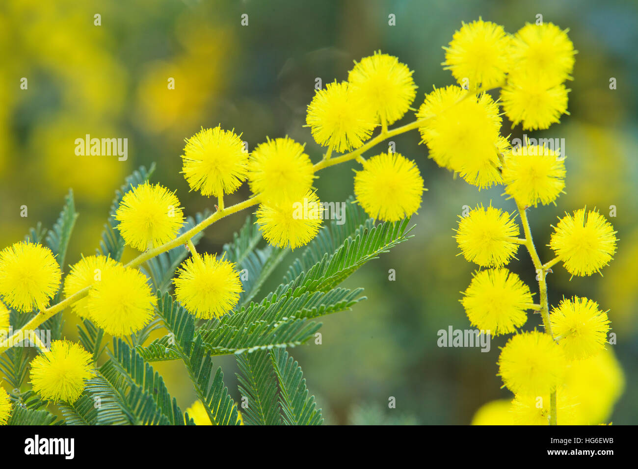 silver wattle or mimosa 39 le gaulois astier 39 acacia dealbata stock photo royalty free image. Black Bedroom Furniture Sets. Home Design Ideas