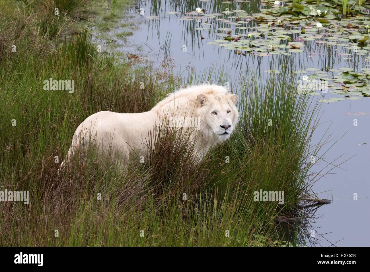 adult-male-white-lion-panthera-leo-kruge