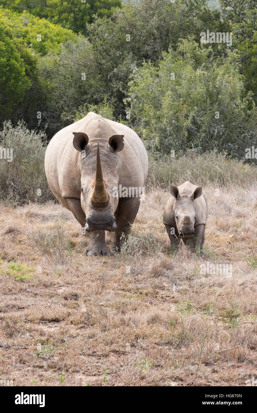 white-rhino-mother-and-2-month-old-calf-