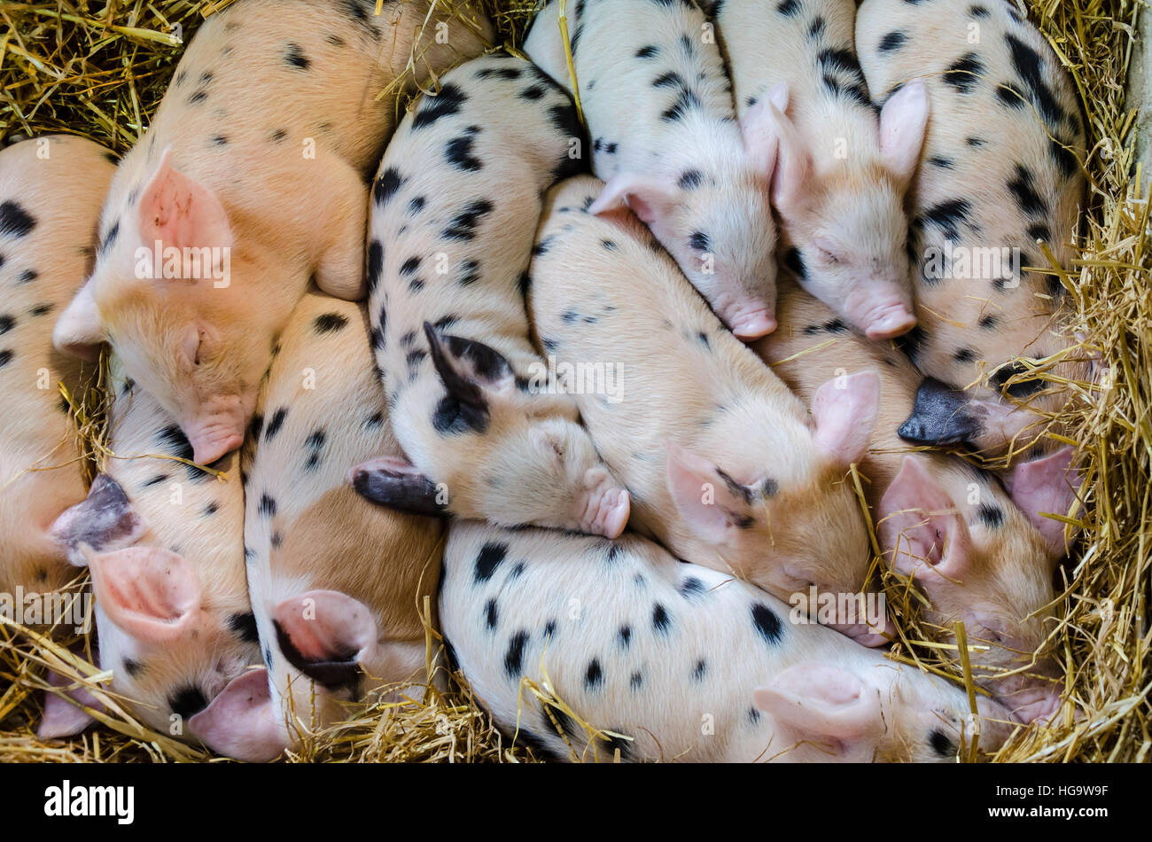 gloucester-old-spot-piglets-snuggle-up-together-in-a-barn-HG9W9F.jpg