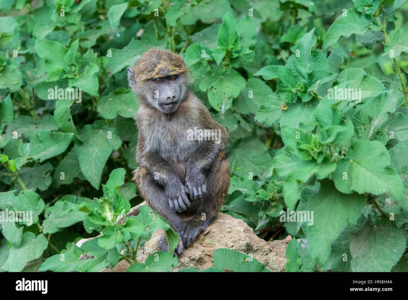 cute-baby-olive-baboon-papio-anubis-sitt