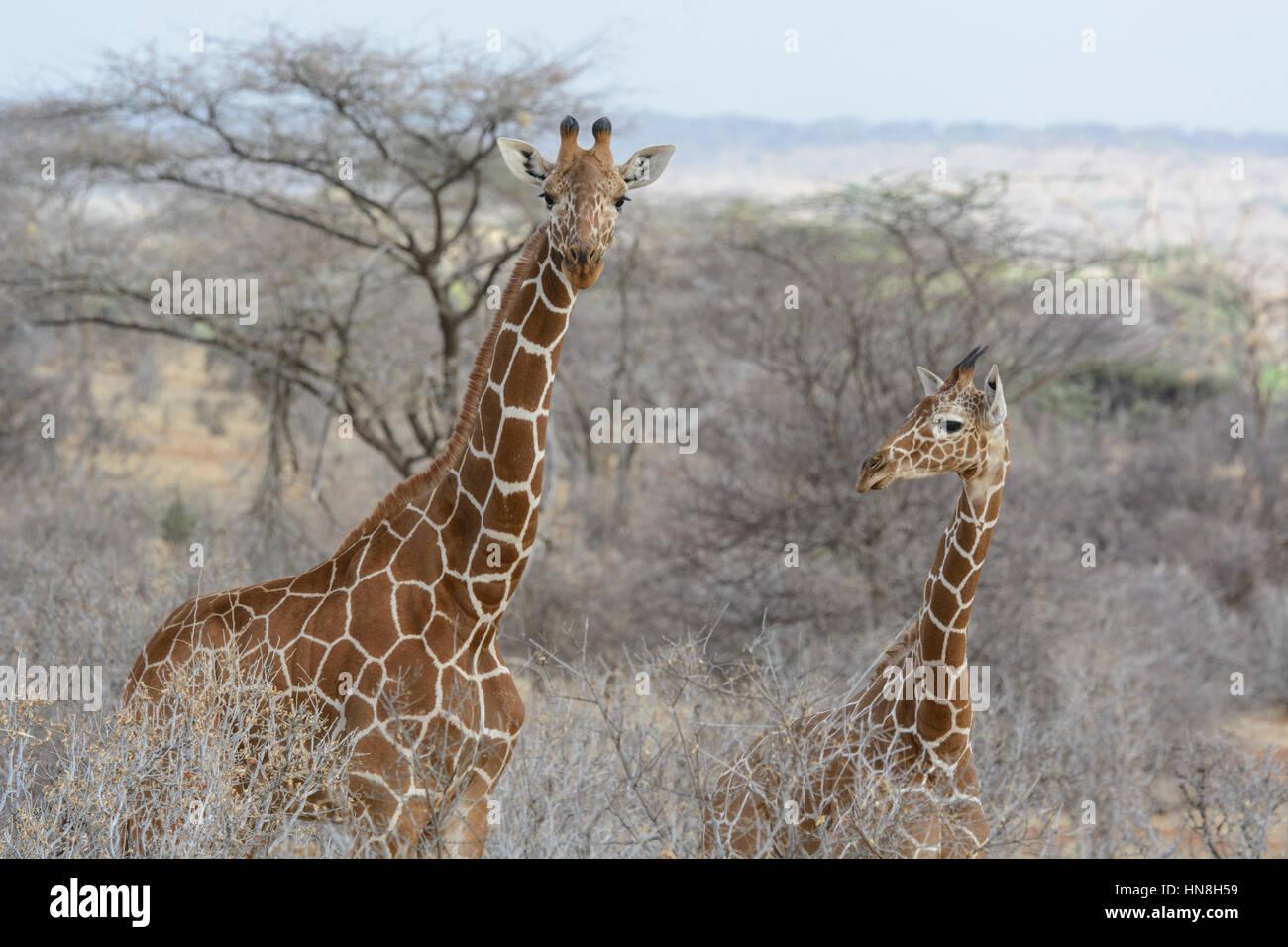 two-wild-reticulated-giraffes-giraffa-ca