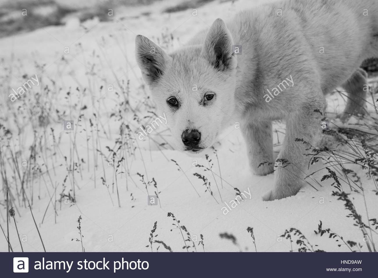 Greenland Sled Dog Puppy - Kalaallit Qimmiat Stock Photo