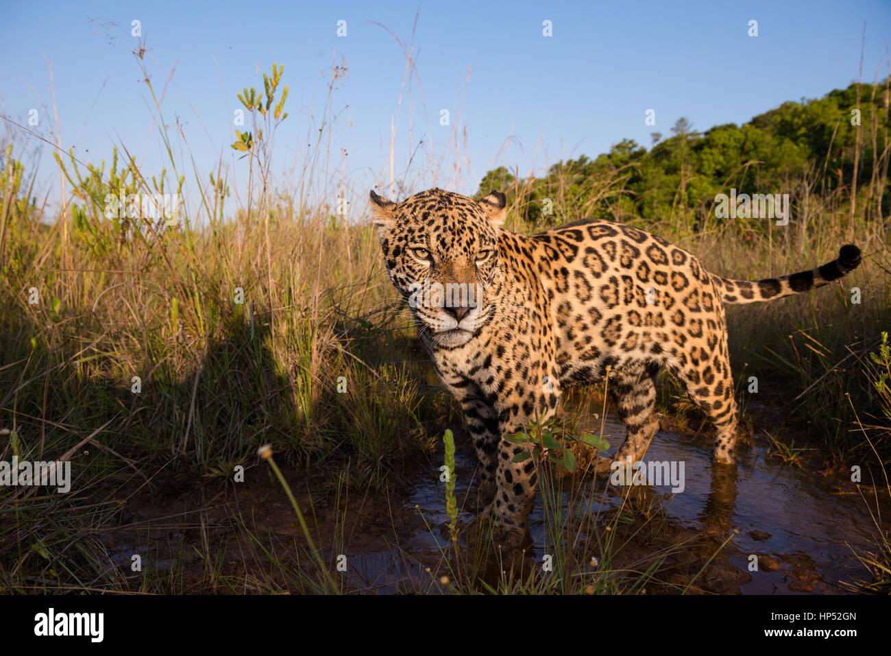 Jaguar exploring a grassland in the Cerrado Stock Photo