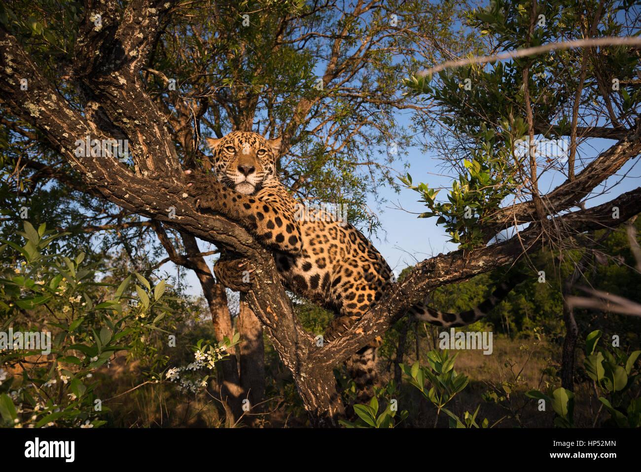 A Jaguar climbs a small tree on the Cerrado of Central Brazil Stock Photo