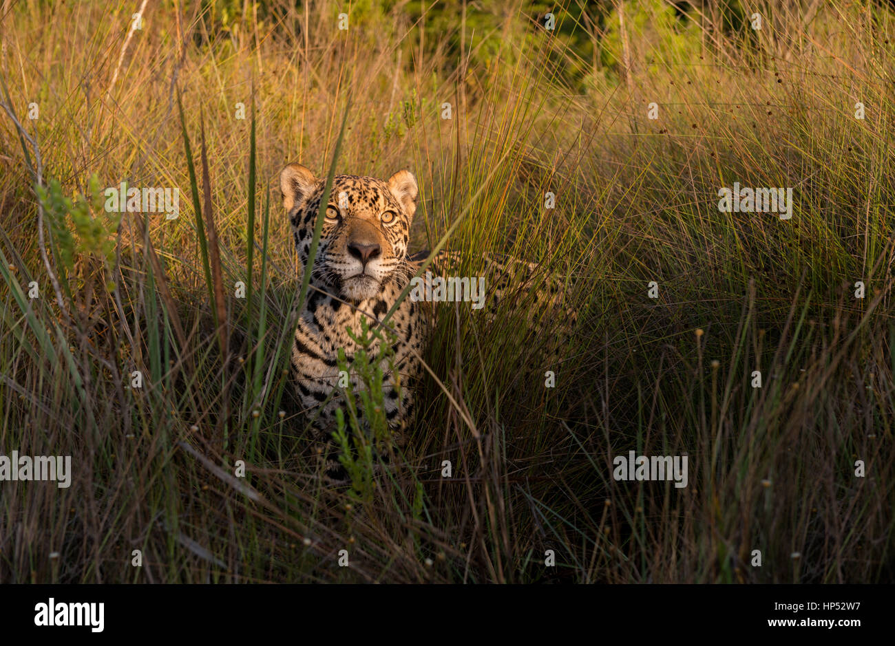 Jaguar exploring a grassland in the Cerrado Stock Photo