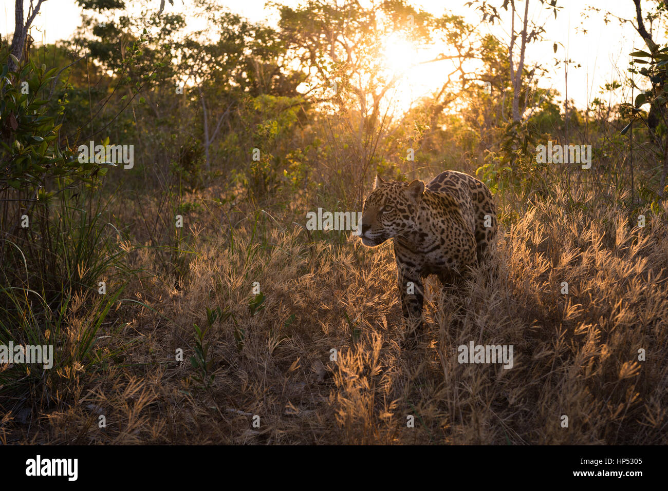 Jaguar exploring the Cerrado Stock Photo