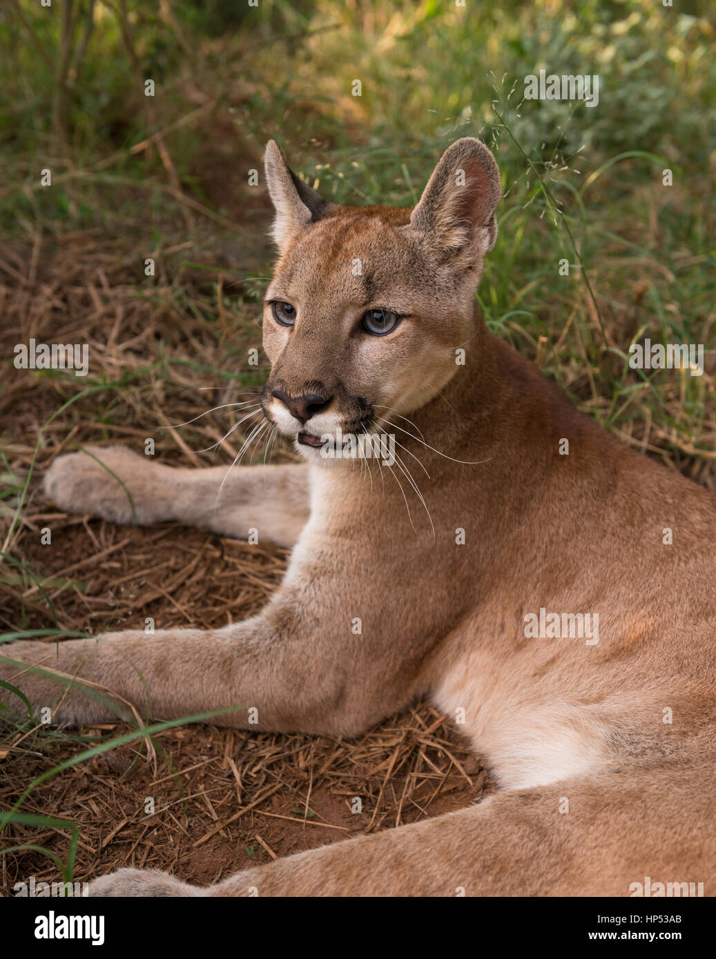 A large Puma cub from Central Brazil Stock Photo