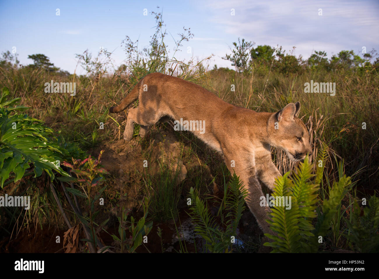 A large Puma cub from Central Brazil jumping over a small creek Stock Photo