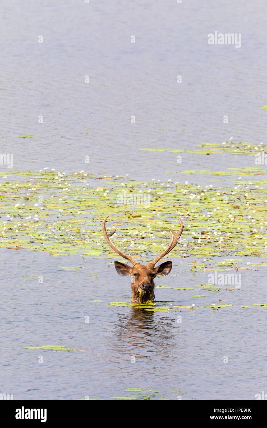 a-sambar-deer-stag-rusa-unicolor-feeding