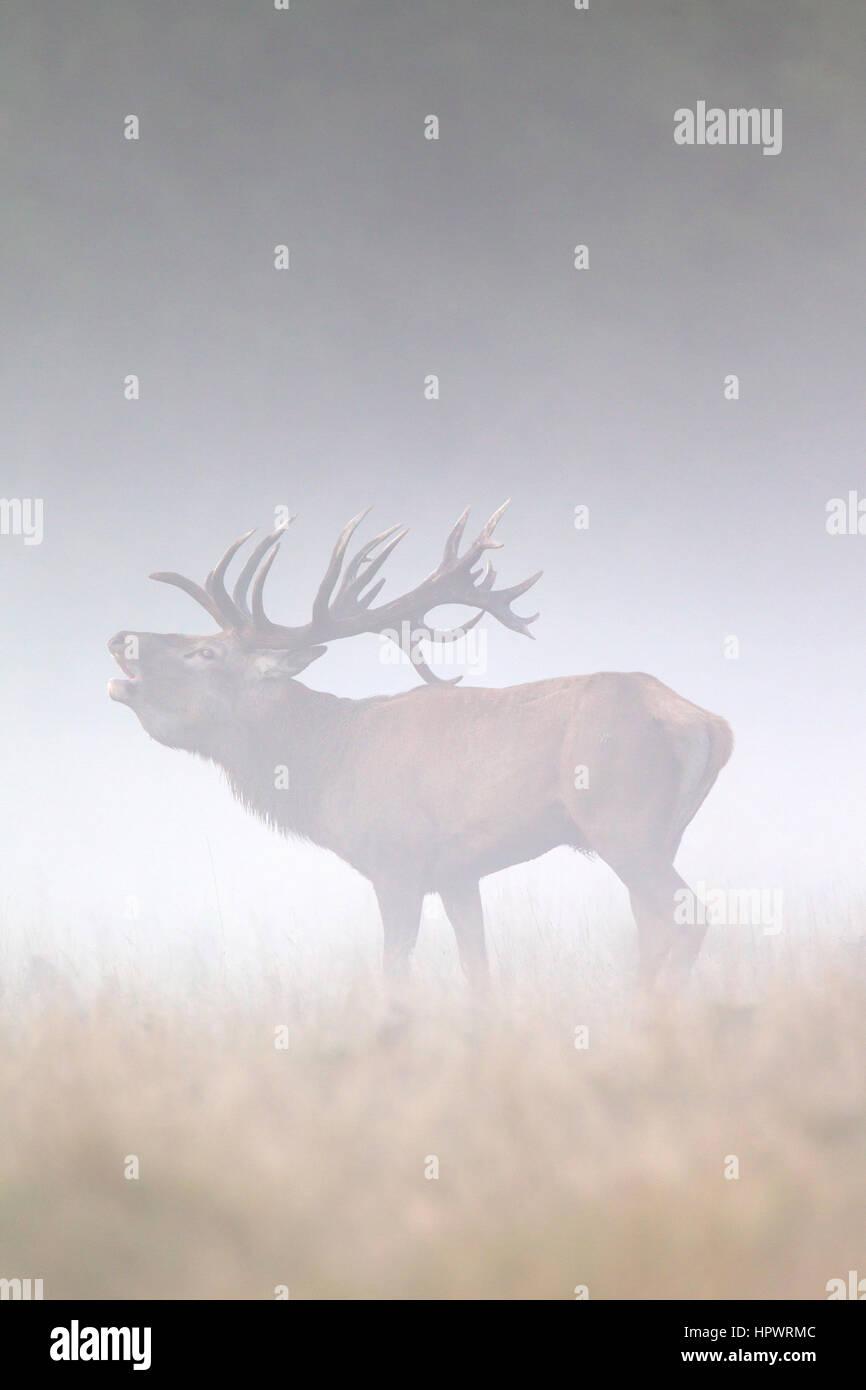 red-deer-cervus-elaphus-stag-bellowing-i